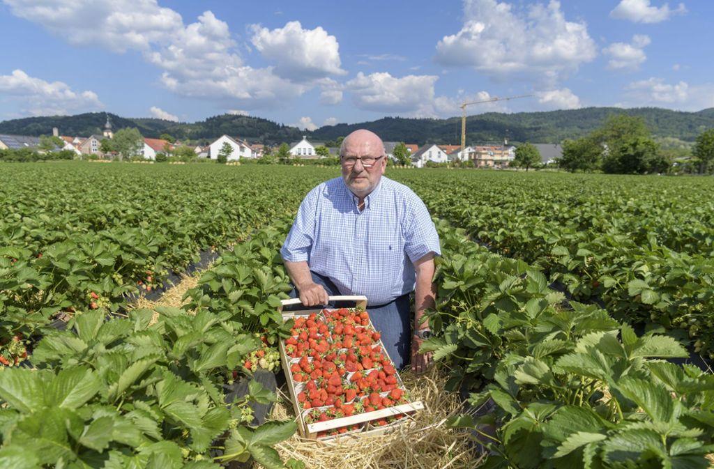 Karl Weingärtners Erdbeer-Felder liegen in Hirschberg in der Rheinebene zu Füßen des Odenwaldes. Foto: Philipp Rothe