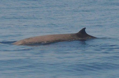 Wal mit Rekord-Tauchgang