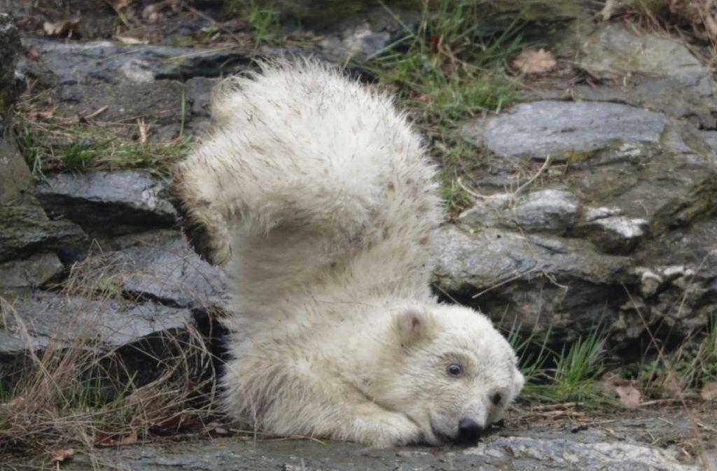 Das erste Mal im Gehege: Der Eisbär-Nachwuchs in Berlin muss sich mit seiner Umgebung erst noch anfreunden. Foto: dpa