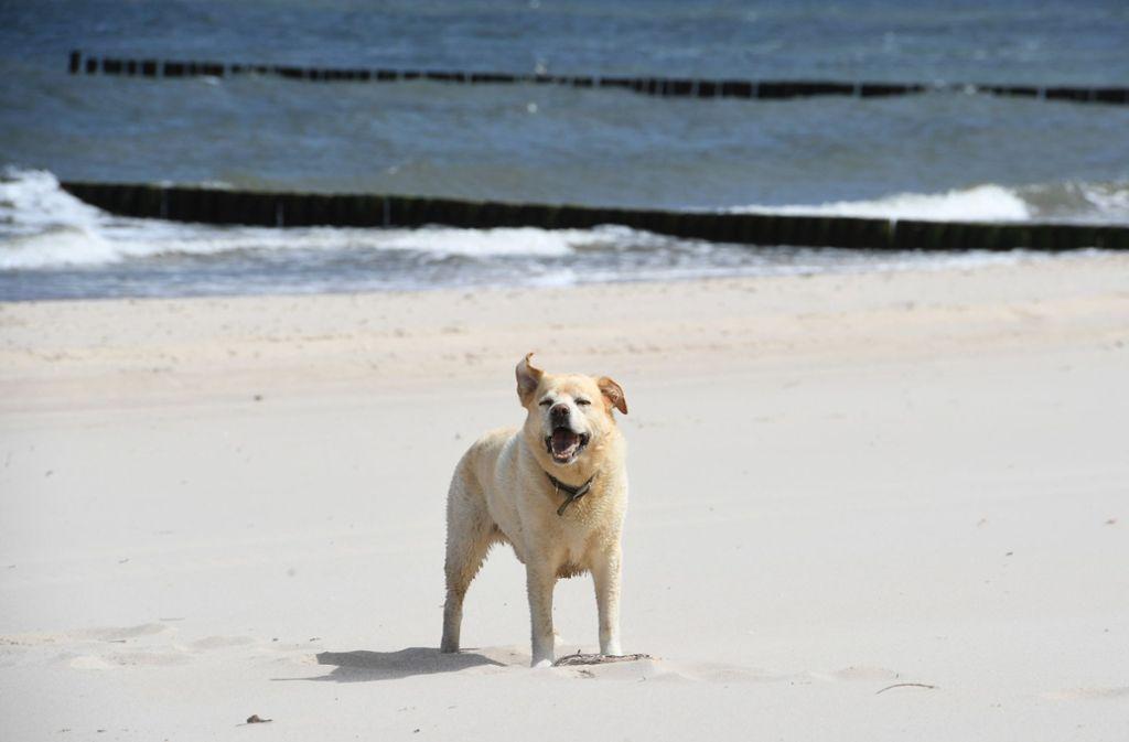 Ein  Hund steht an einem menschenleeren Strand auf der Ferieninsel Usedom in Mecklenburg-Vorpommern. Bald soll der Tourismus in dem Bundesland wieder hochlaufen – natürlich mit Beschränkungen. Foto: dpa/Stefan Sauer