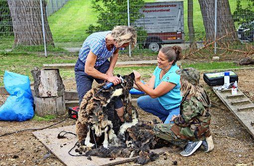 Runter mit der Wolle: Die Jugendfarm-Schafe sind ihr Haarkleid los