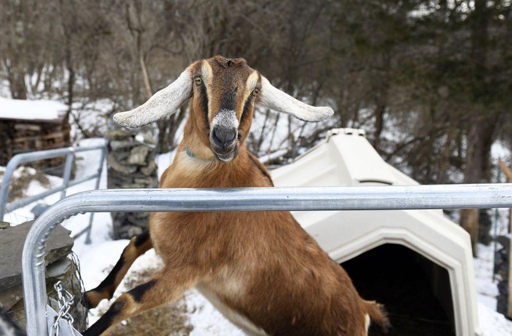 Der Sieger der Bürgermeisterwahl in Fair Haven ist ...Lincoln –  eine Ziege. Foto: Robert Layman/Rutland Herald/AFP