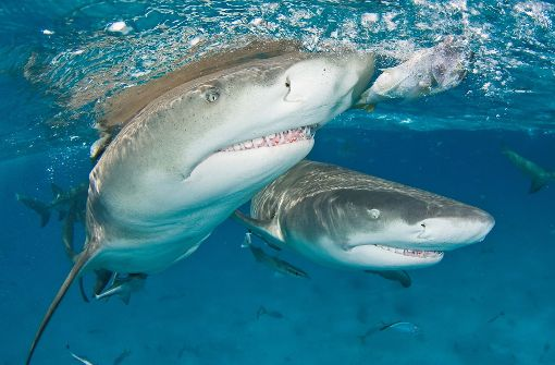 Der Hai steht am Sonntag im Mittelpunkt