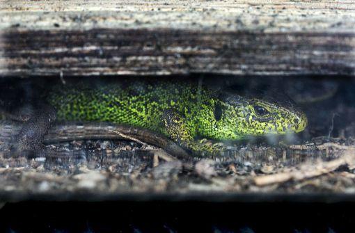 Bahn  siedelt tausende Eidechsen um