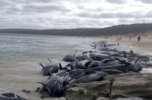 Mehr als 150 Wale gestrandet