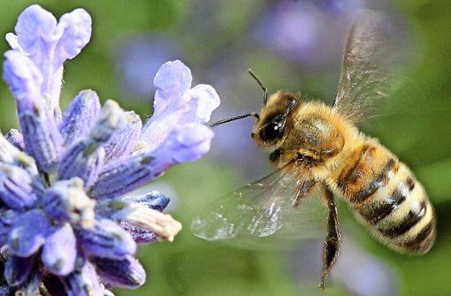 Stadt will mehr Weiden für Bienen anlegen