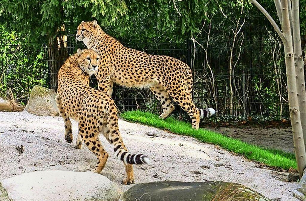 Die Geparden-Brüder Zawadi (links) und Haraka sind anderthalb Jahre alt. Die Tiere stammen aus Lyon in Frankreich und haben sich inzwischen gut eingelebt. Foto: Wilhelma Stuttgart/Inga Dauter