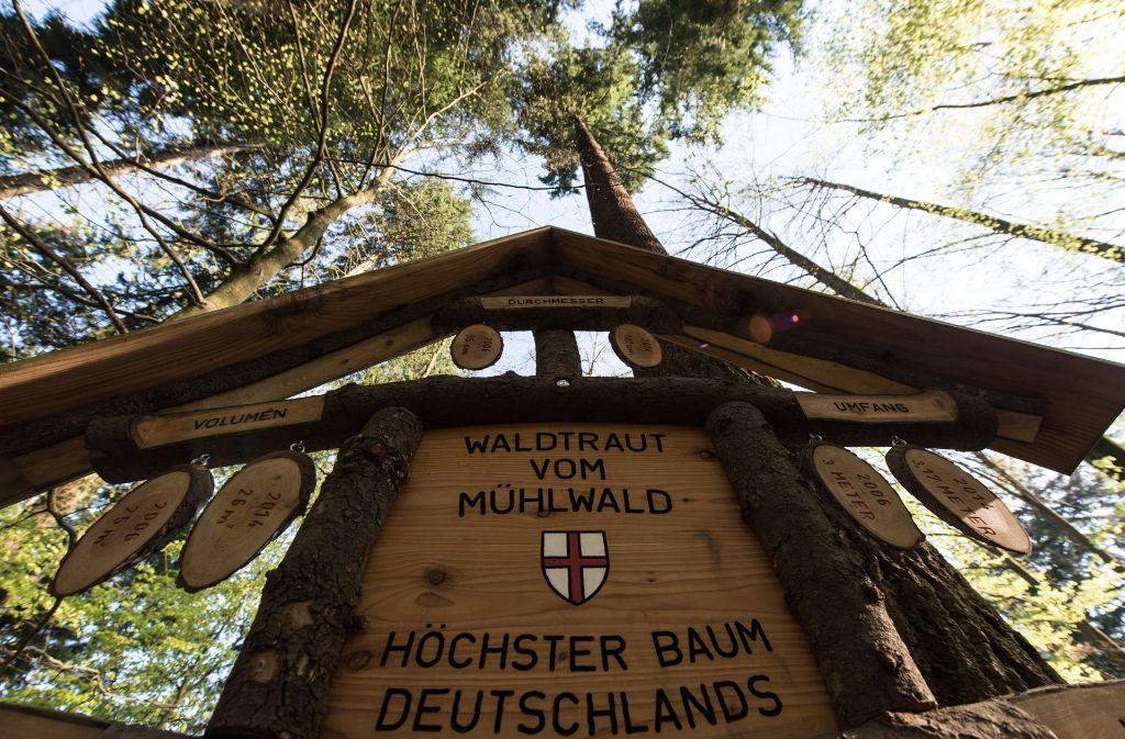 Eine Douglasie im Stadtwald von Freiburg ist Deutschlands höchster Baum. Foto: dpa