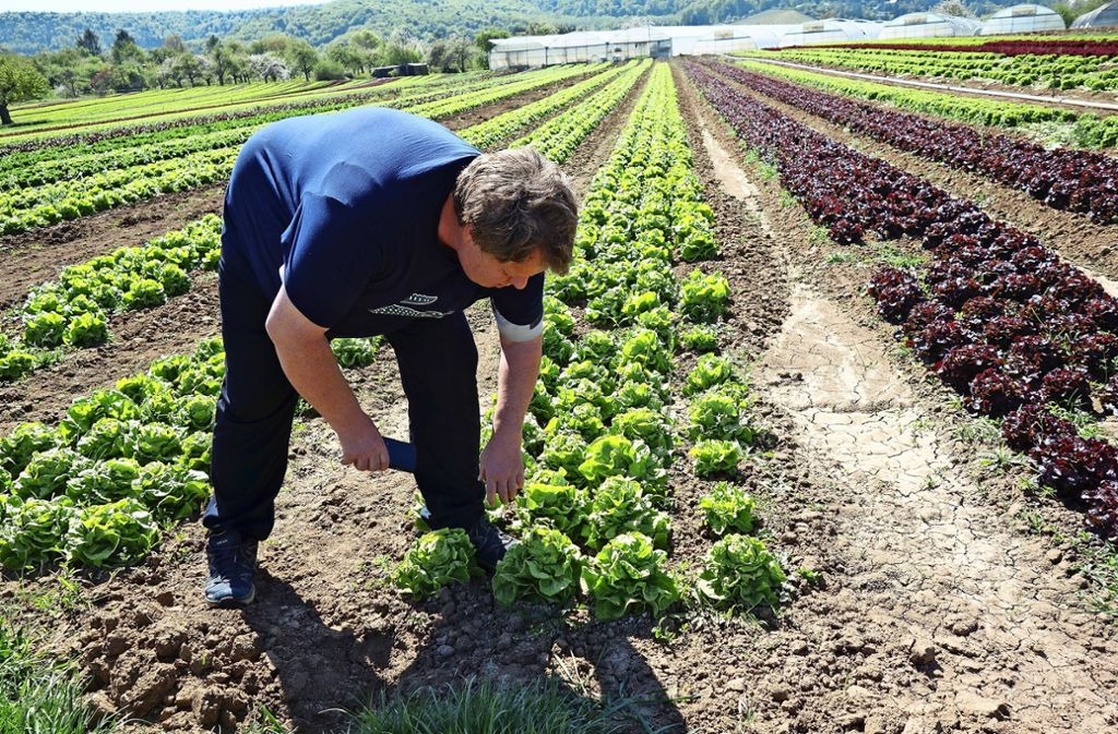 Salat, soweit das Auge reicht: Christian Merz und sein Bruder sind Spezialisten – und ringen mit der Trockenheit. Foto: Ingrid Sachsenmaier