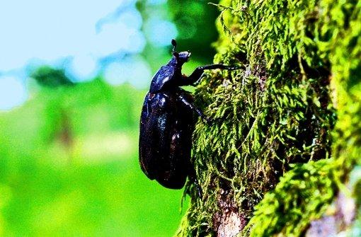 Der Juchtenkäfer lebt in großen alten Bäumen. Durch den Polizeieinsatz im Foto: dpa