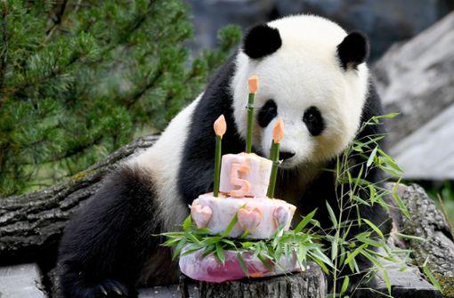 Pandabärin erwartet wahrscheinlich Nachwuchs