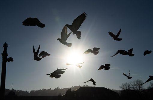 Mehrere Tauben durch Drohne verletzt
