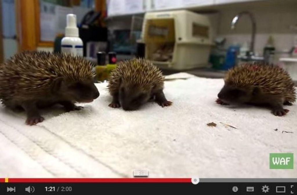 Diese drei kleinen Baby-Igel haben sich erkältet. Foto: Screenshot Youtube-Video/Wildlife Aid