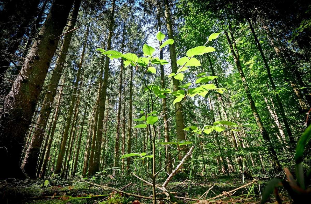 Eine junge Buche kämpft sich im lichtdurchfluteten Mischwald nach oben – ein schönes Symbol für den Zustand des Waldes. Foto: factum/Simon Granville