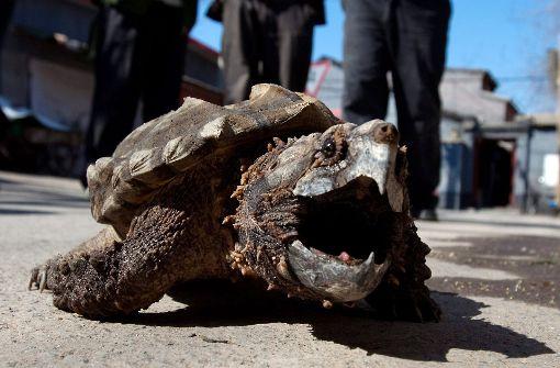 Hauk gegen die Schnappschildkröten