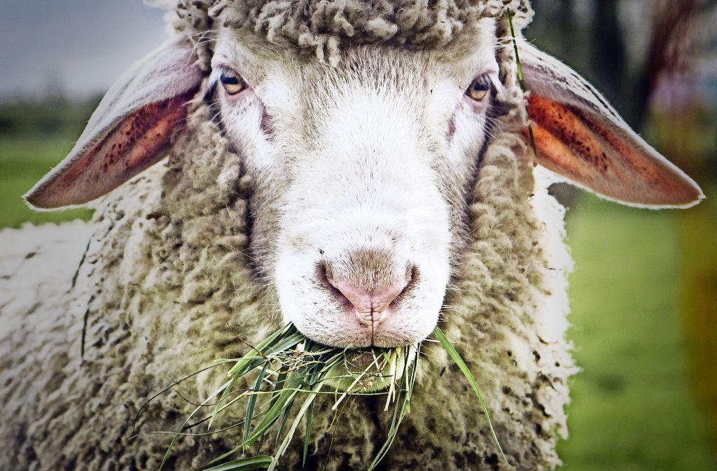 Schafe auf dem Weihnachtsmarkt? Nicht jeder findet diese Idee gut. Foto: dpa