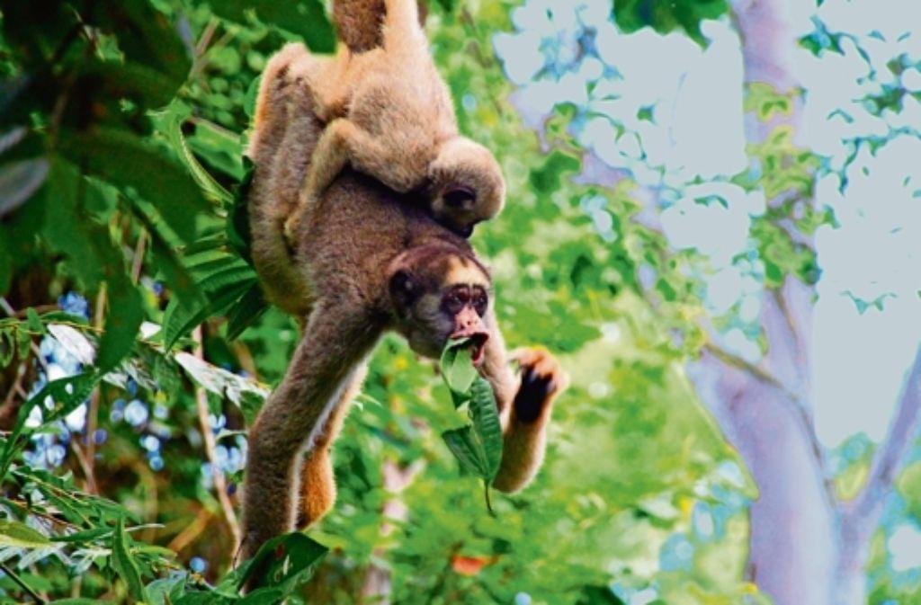 Mit knapp 15 Kilo Gewicht sind Muriquis die größten Primaten der Neuen Welt. Foto: Aylin Klarer