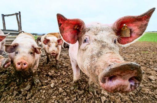 Das Schwein von der Weide wird zum Verkaufsschlager