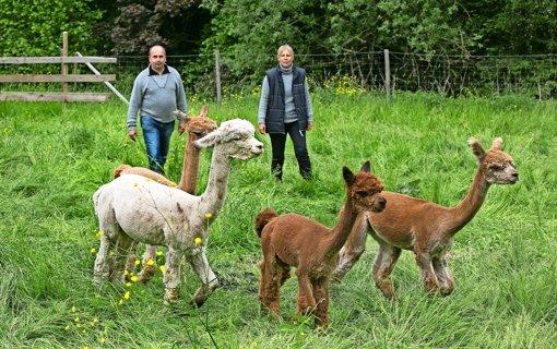 Jedes Jahr im Mai bringen Steffen Krämer und Manuela Gansloser ihre frisch geschorenen Alpakas auf die große Sommerweide im Autal Foto: Horst Rudel