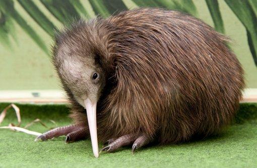 Warum der Kiwi das Fliegen verlernte