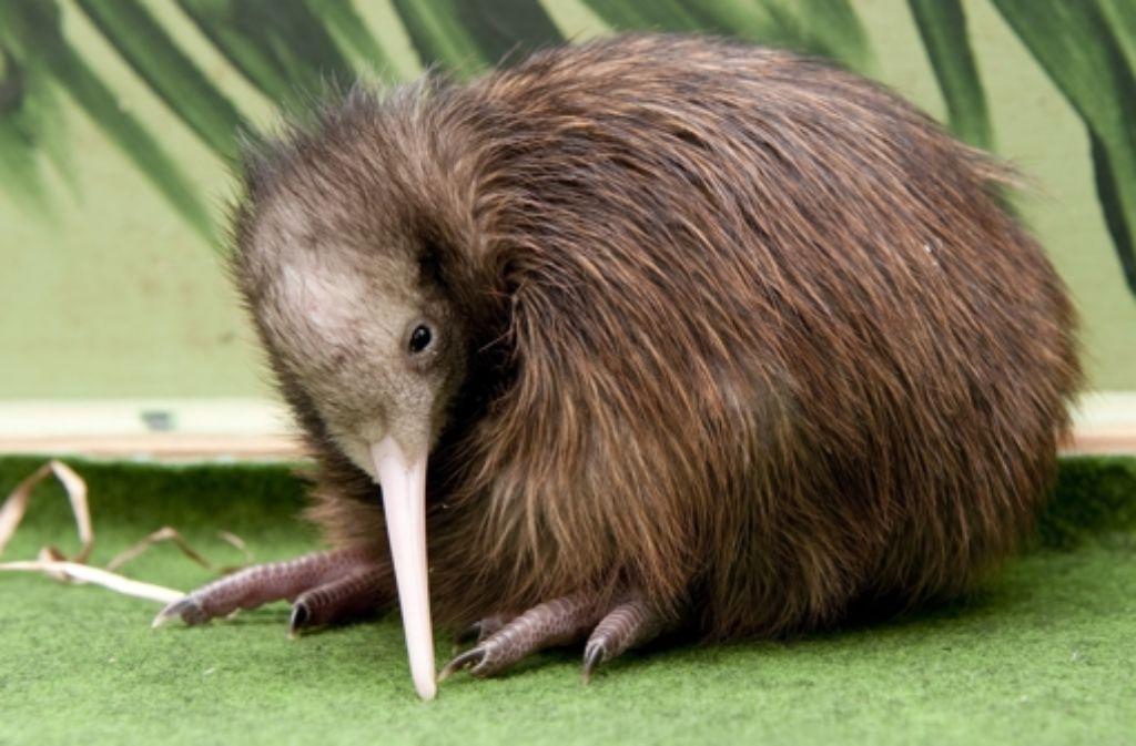 Der Kiwi erinnert ein wenig an ein Säugetier mit Federn. Foto: dpa