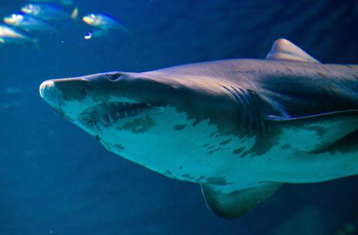 Dritte Hai-Attacke auf junge Schwimmer