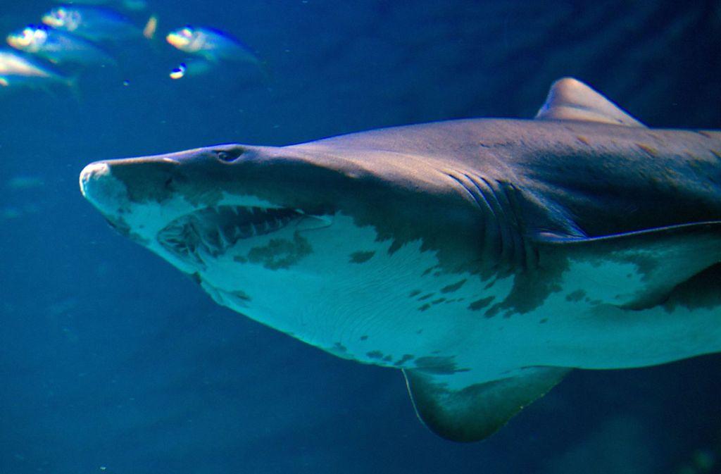 In North Carolina hat es bereits die dritte Hai-Attacke innerhalb eines Monats gegeben (Symbolbild). Foto: dpa