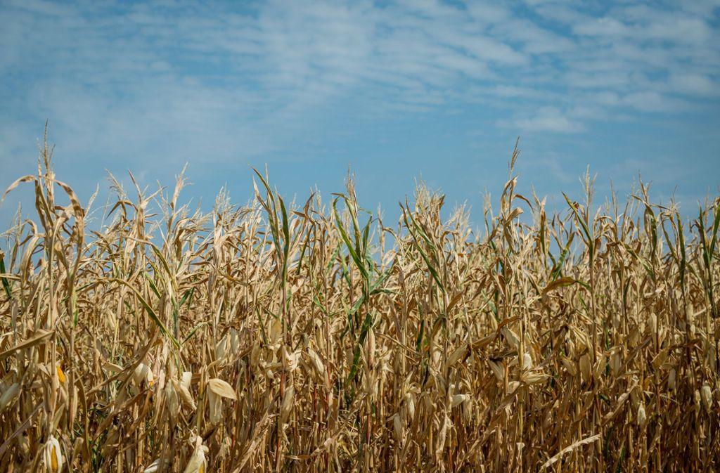 In Maisfeldern werden gerne Cannabis-Plantagen versteckt. Foto: dpa