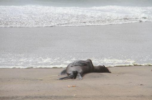 Massensterben von Robben gibt Forschern Rätsel auf