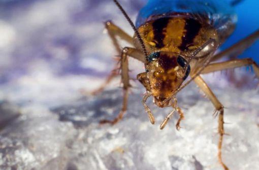 Schabe laut Forschern immun gegen Gift