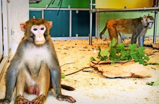 Rhesusaffen im Labor. den Tieren wurde für die neurowissenschaftlichen  Experimente ein Titanaufsatz am Kopf implantiert. Foto: