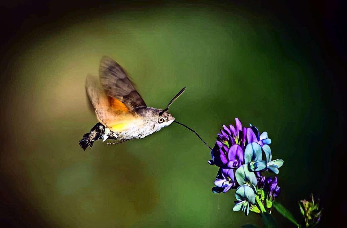 Ein Taubenschwänzchen nascht von einer Blüte Foto: Dustin Hönes
