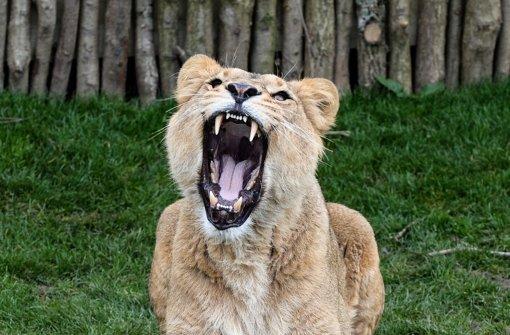 Zuschauer dürfen neues Löwengehege besuchen