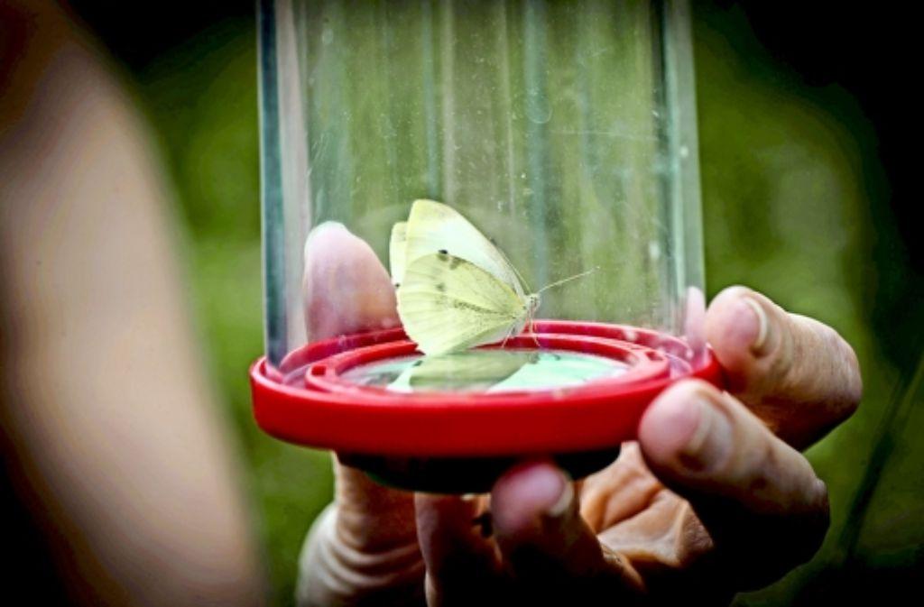Ehrenamtliche zählen die Schmetterlinge und bestimmen deren  Art. Foto: Lg/Zweygarth