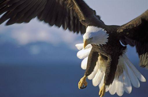 Adler greift Kraken an – der dreht den Spieß herum