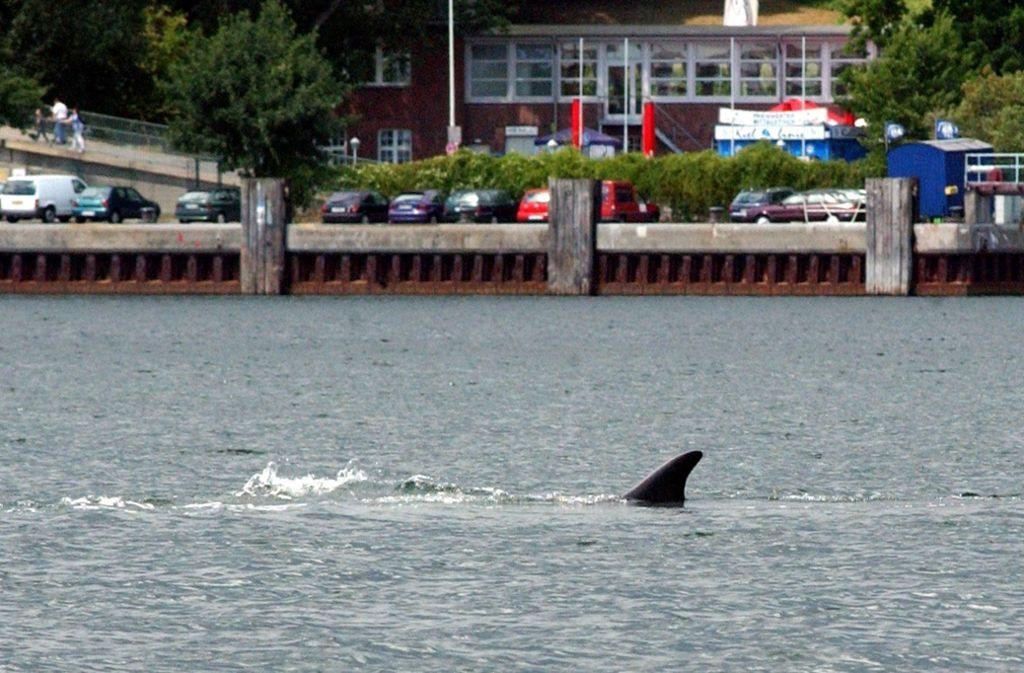 2003 hatte sich ein Finnwal in die Kieler Förde verirrt. Foto: dpa/Marcus Teichwächter