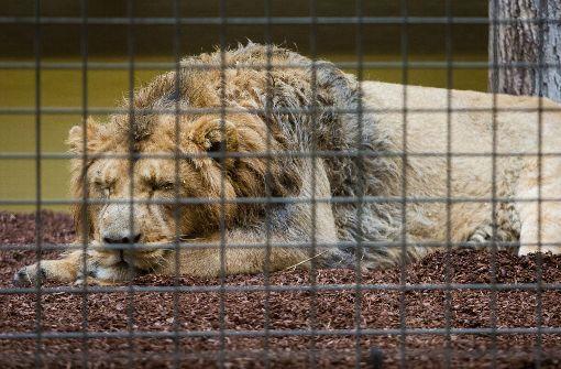 Die Löwen haben Ausgang