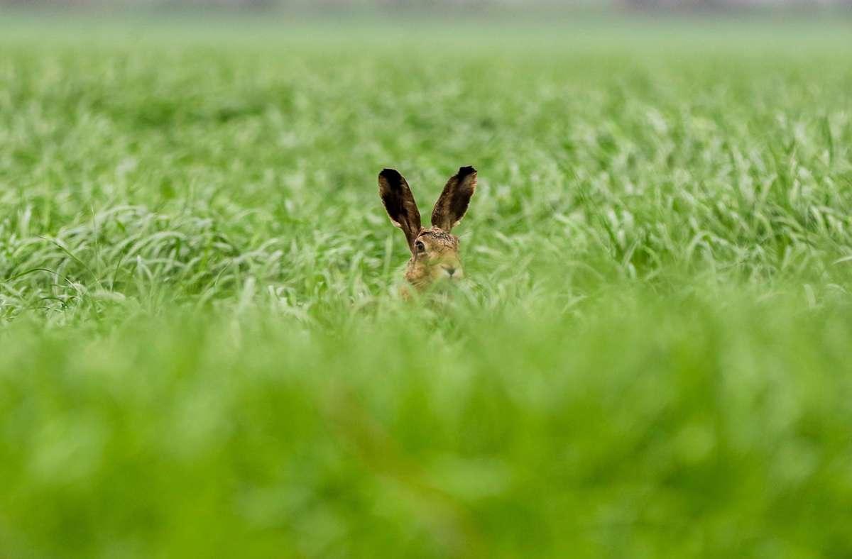 Für Feldhasen wie dieses Langohr hier ist die Hasenpest eine tödliche Gefahr. Foto: dpa/Mohssen Assanimoghaddam