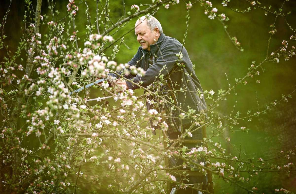 Baumschnitt in Perfektion: Helmut Ritter in Aktion an einem Apfelbaum  in Hanweiler. Foto: /Gottfried Stoppel