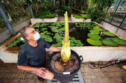 Größte Blume der Welt könnte am Wochenende blühen