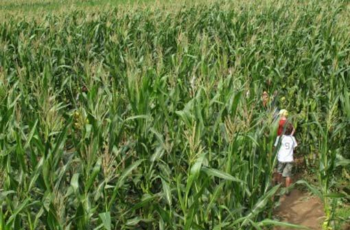 Randale im Maislabyrinth