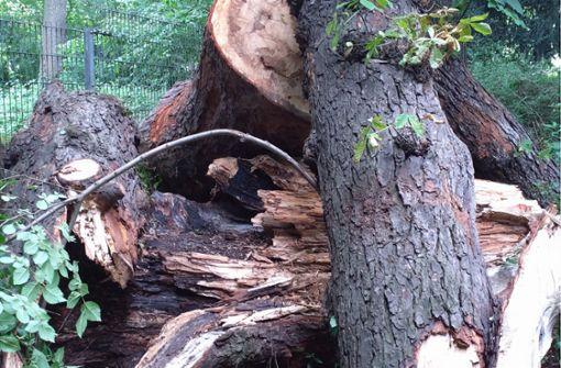 Käferlarven in entwurzelten  Bäumen gefunden