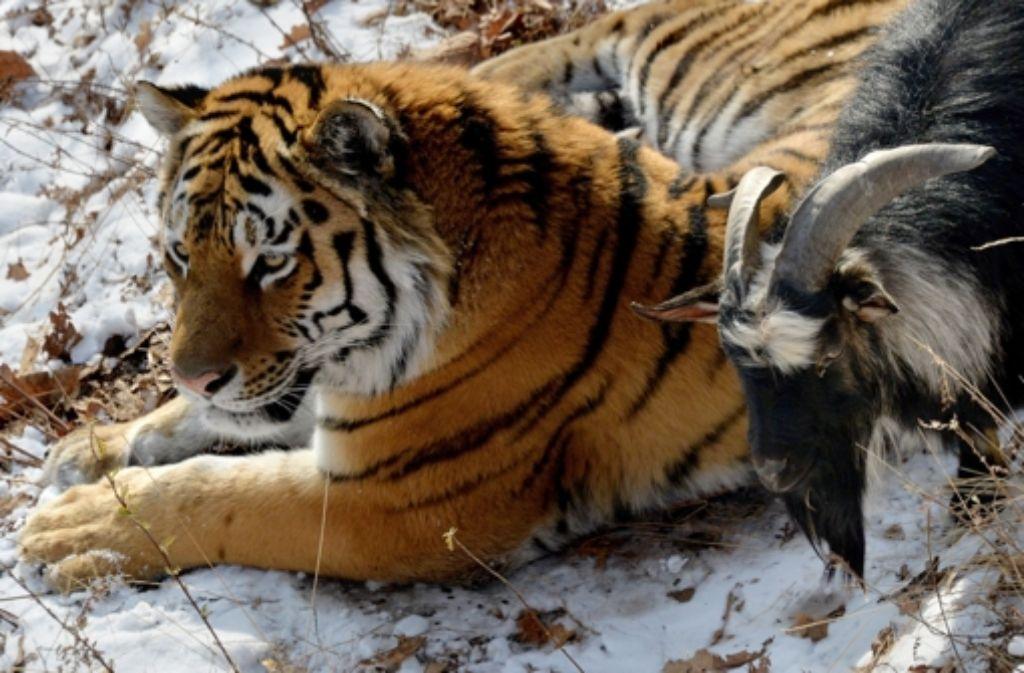 Tiger Amur überlässt Ziegenbock Timur zurzeit seinen überdachten Schlafplatz. Foto: dpa