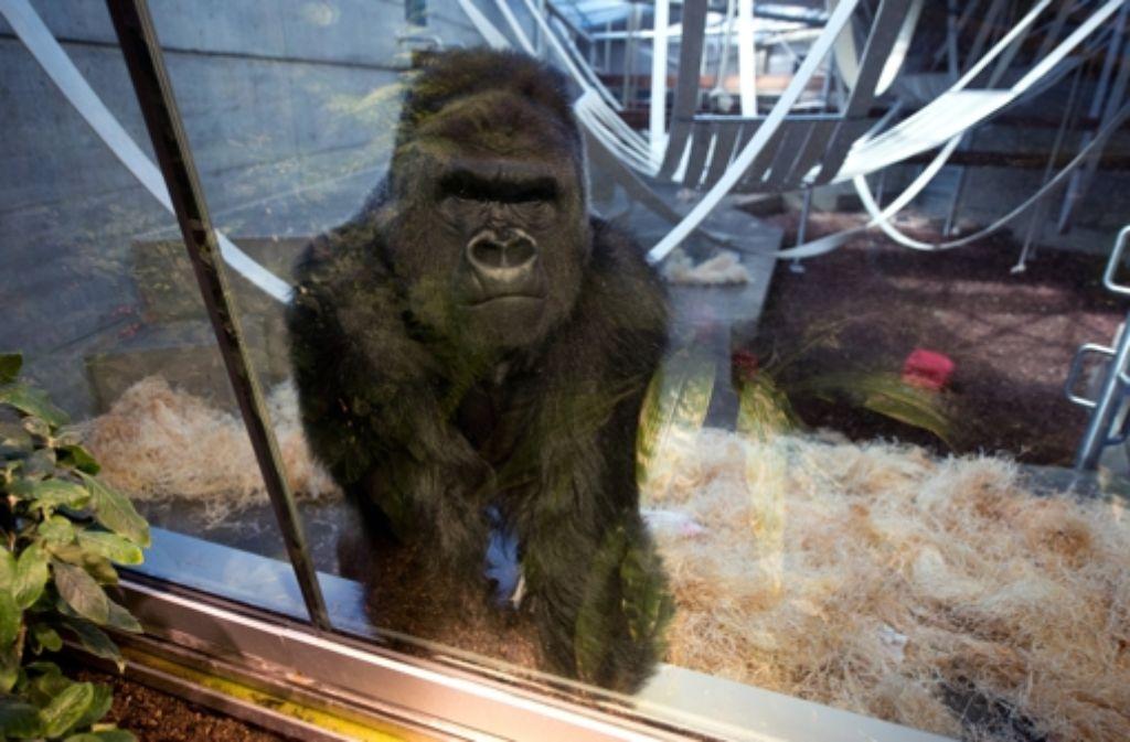 In der Stuttgarter Wilhelma werden seit 50 Jahren Gorillas gehalten. Foto: dpa