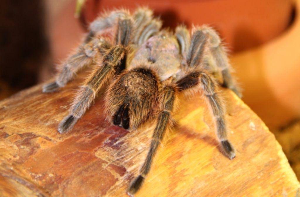 Diese Spinne wurde in Birkach gefangen. Sie lebt jetzt in Botnang. Erst in der vergangenen Woche sorgte eine Spinne in einem Supermarkt in Kornwestheim für Aufregung. Unsere Bildergalerie zeigt Impressionen des dortigen Einsatzes. Foto: Torsten Ströbele