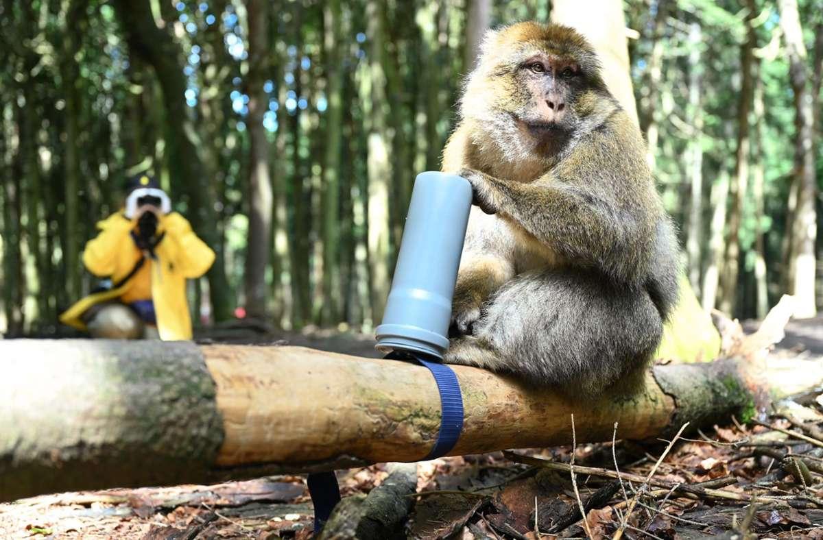 Welche sozialen Informationen können Affen aus dem Geruch anderer Artgenossen herauslesen. Das wird derzeit am Affenberg in Salem erforscht. Foto: dpa/Felix Kästle