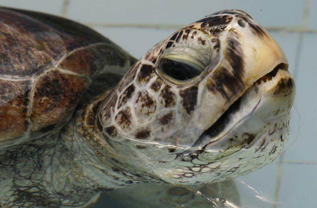 """""""Omsin"""" (deutsch: Bank/Sparschwein), wie die thailändische Schildkröte nun genannt wird, hatte mehrere hundert Münzen verschluckt Foto: AP"""