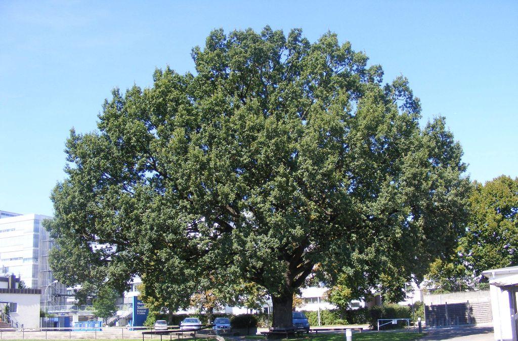 Für viele ist die mehr als 100 Jahre alte Eiche auf dem Allianz-Gelände in Stuttgart-Vaihingen einer der Knackpunkte. Der Baum soll erhalten werden. Foto: z/Stefan Koch