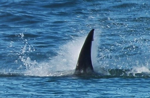 70 Haie zerfetzen Wal-Kadaver