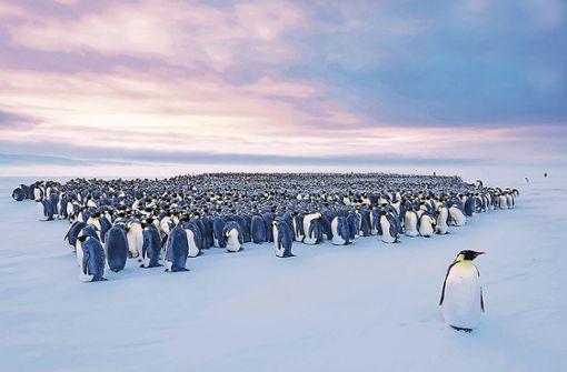 Wegen der Pinguine  in der Antarktis
